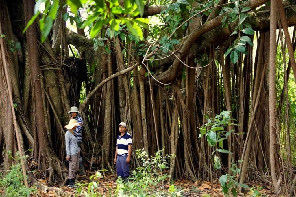 Curtain Fig Tree, Paz de Ariporo, Casanare. Plains-of-Colombia-with-Colombian-Highlands-24-1024×683