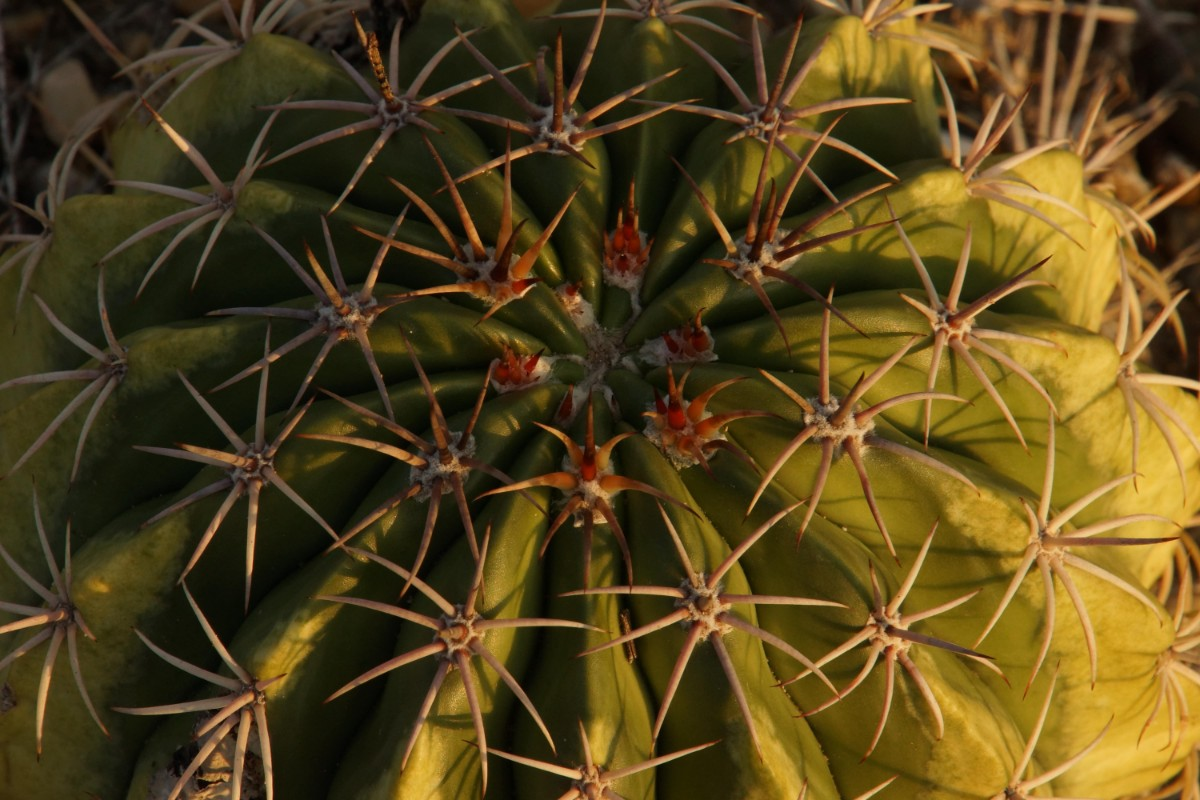 Cactus of the Tatacoa Desert, Colombia