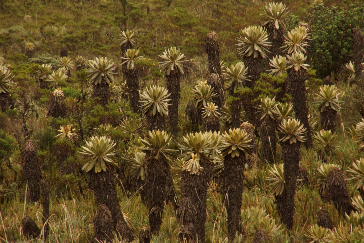 Frailejón in Paramo Ecosistem, Colombian Highlands Tours